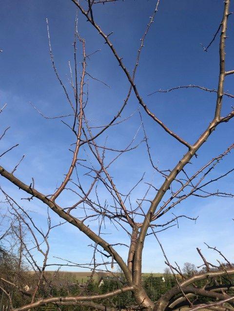 Obstbäume schneiden - nach innen wachsende Zweige