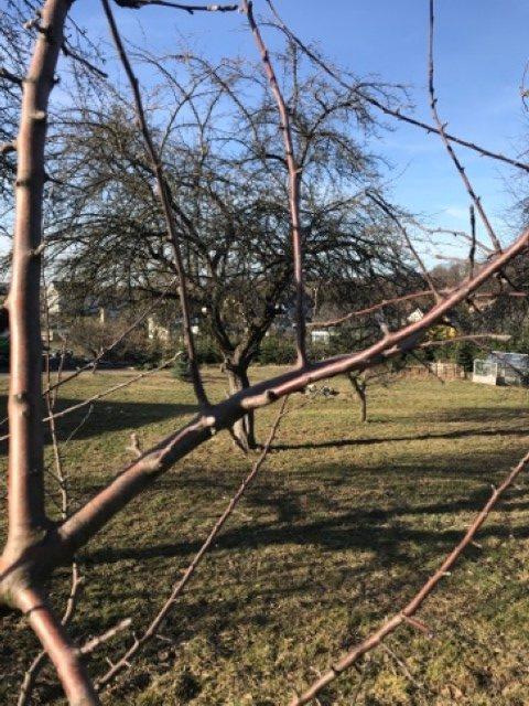 Obstbäume schneiden - Senkrecht vorher