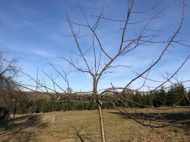 Obstbäume schneiden - Ganzer Baum