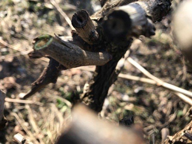 Weinreben schneiden
