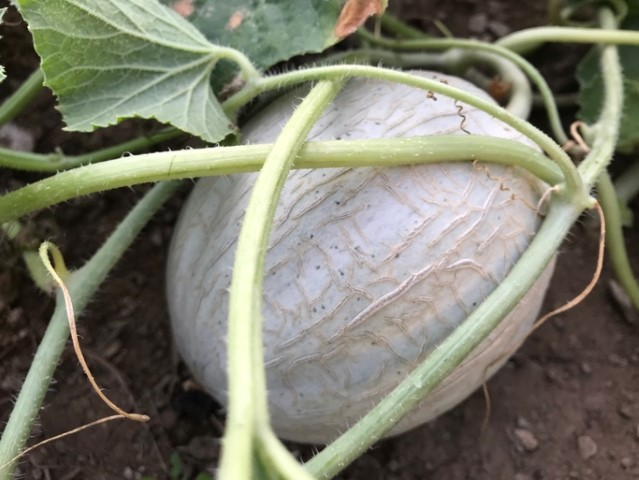 Samengewinnung - Melonen aus selbst gewonnenen Samen
