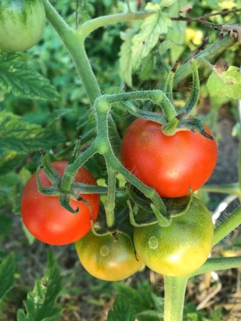 Samengewinnung - normale Tomaten