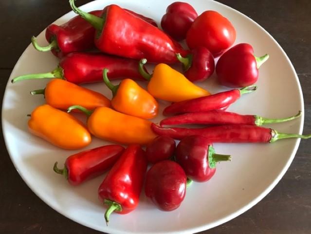 Direktsaat oder Vorziehen - Tomaten, Paprika und Chili