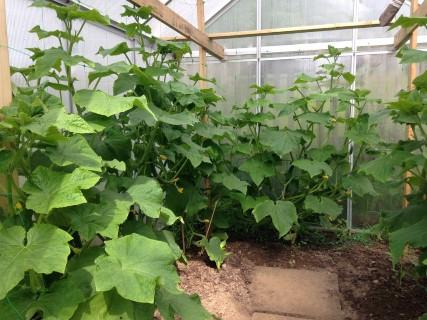 Gurkenvielfalt - Gewächshaus