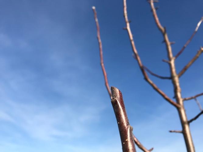 Obstbäume schneiden - Über der Knospe