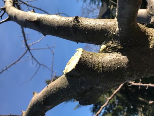Obstbäume schneiden - Stummel schneiden