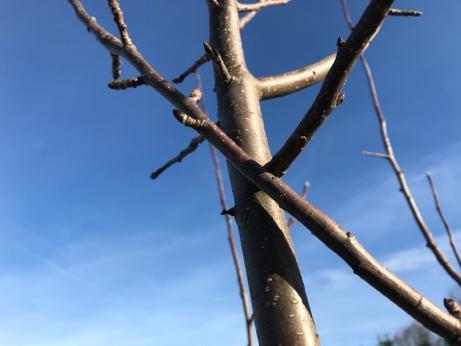 Obstbäume schneiden - Äste wegschneiden