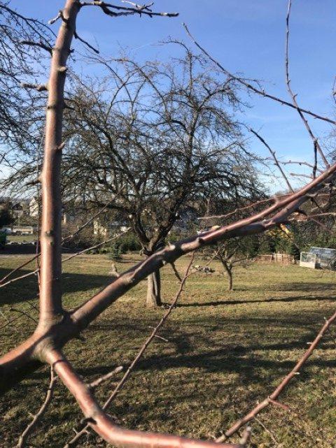 Obstbäume schneiden - senkrecht nachher