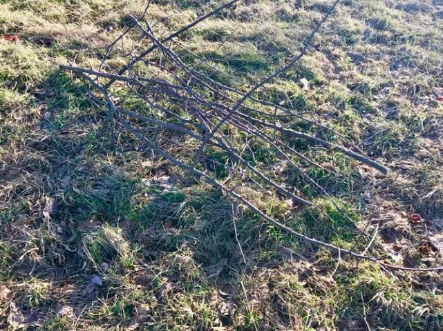 Obstbäume schneiden - Rückschnitt