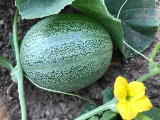 Samengewinnung - Grüne Melonen aus selbst gewonnenen Samen