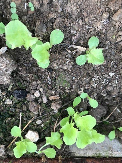 Samengewinnung - kleine Salatpflänzchen