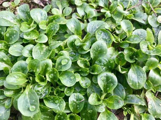 Samengewinnung - Feldsalat ernten